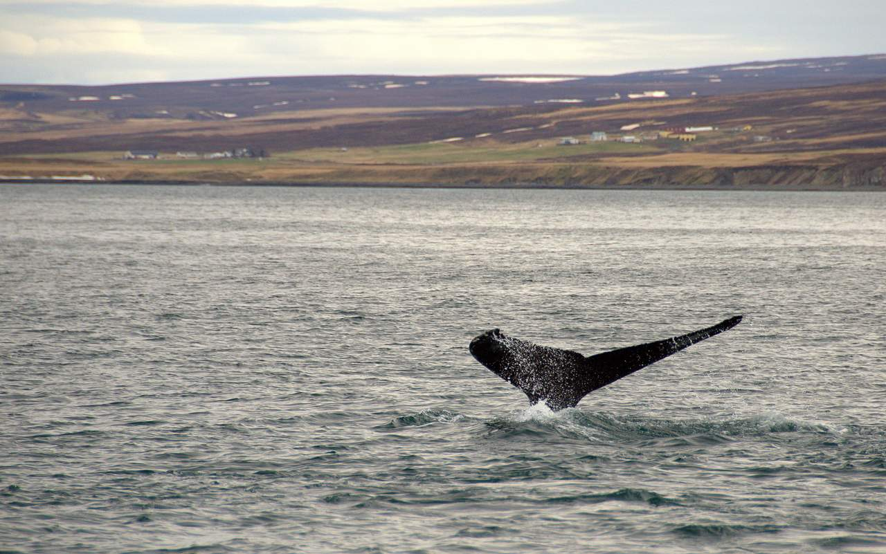 Whale Watching in Husavik with North Sailing